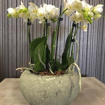 Orchidee Schaal