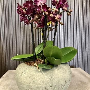 Orchidee Schaal kleur
