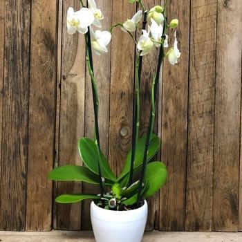 Orchidee 3-tak