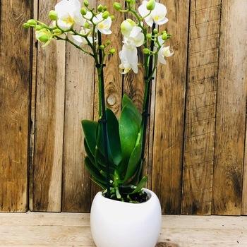 Orchidee midi